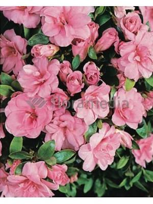 Azalia japońska 'Rosebud' 3L