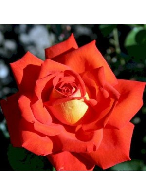 Róża pienna  LAS VEGAS