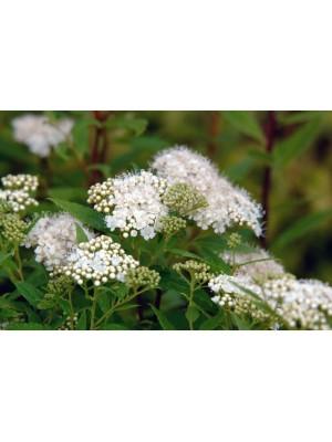 Tawuła japońska  Albiflora  2L