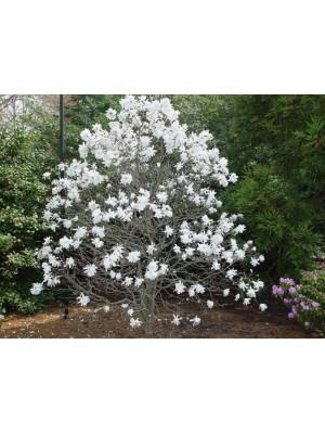 Magnolia gwiaździsta  Royal...