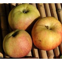 Jabłoń  Ananas Berżenick