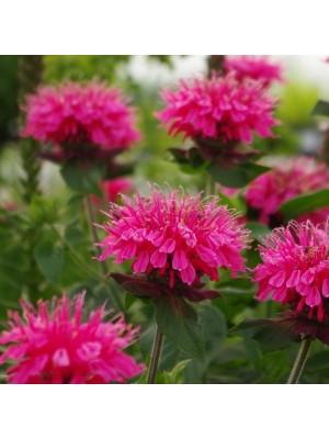 Pysznogłówka 'Pink Lace' -...