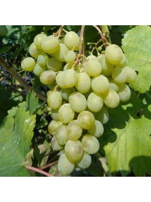 Winorośl  Muskat letni  -...
