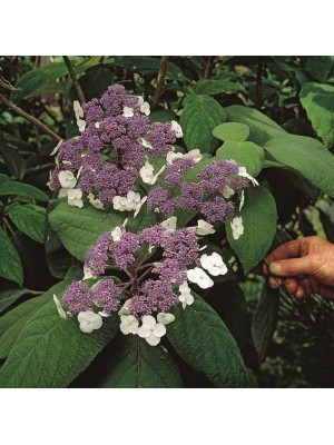 Hortensja kosmata  Macrophylla
