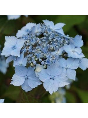 Hortensja piłkowana  Blue...