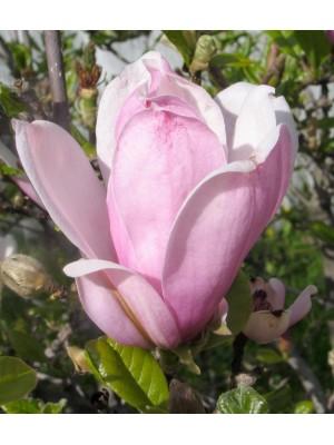 Magnolia  George Henry Kern...
