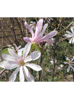 Magnolia  Leonard Messel  3L