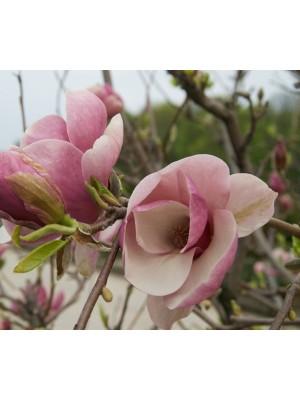 Magnolia  Jane  3L