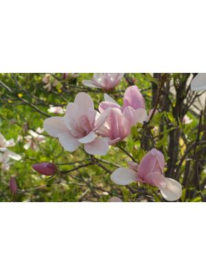 Magnolia  Ricki  3L