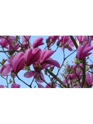 Magnolia  Royal Crown  3L