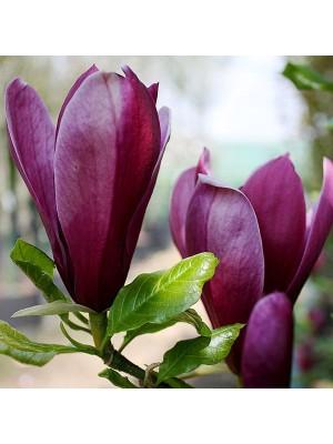 Magnolia purpurowa  Nigra  3L