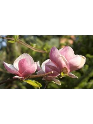 Magnolia pośrednia  Rustica...