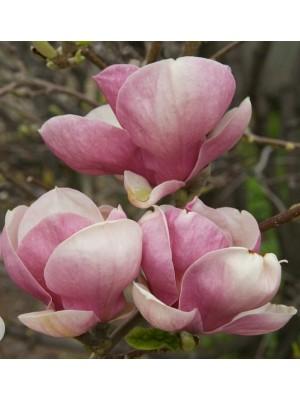 Magnolia  Sentinel  3L