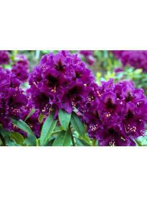 Różanecznik  Purple...