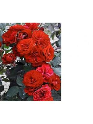 Róża  Europeana