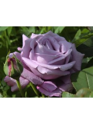 Róża MAINZER FASTNACHT