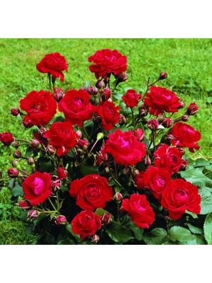 Róża  Nina