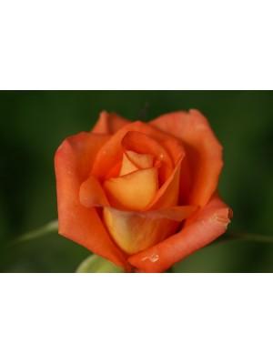Róża pienna  Monika