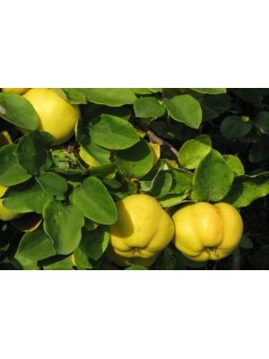Pigwa  jabłkowa (szczepiona)