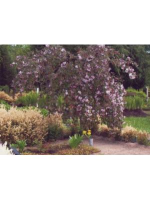 Jabłoń  Purpurea Pendula