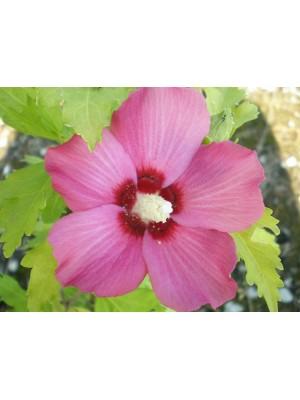 Hibiscus (Ketmia) syryjska...
