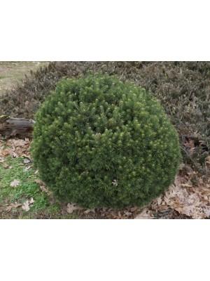 Jodła górska  Green Globe