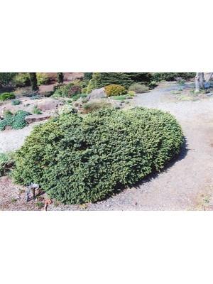 Picea Glauca  Echinioformis