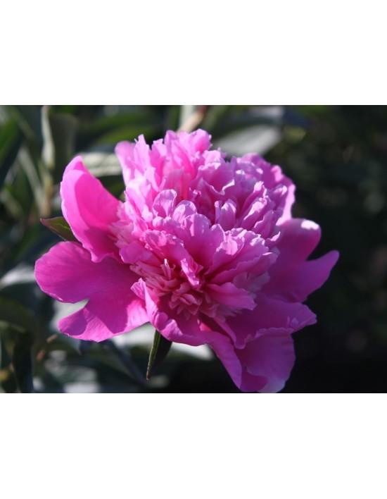 Piwonia Chińska Amabilis Paeonia Lactiflora Amabilis 3l