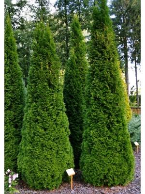 Żywotnik zachodni  Szmaragd  40-50cm 3L- Thuja occidentalis  Smaragd