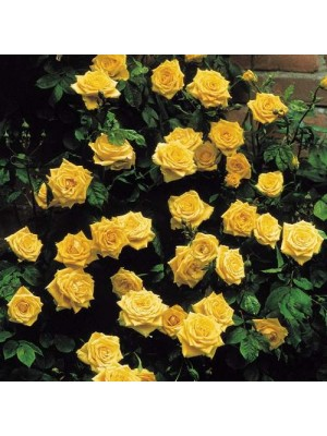 Róża pienna LANDORA  Sunblest