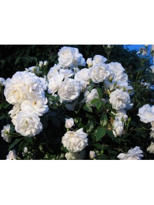 Róża pienna SCHNEEWITTCHEN  Korbin