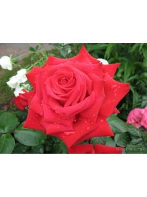 Róża pienna BURGUND  Korgund