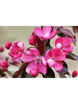 Jabłoń ozdobna 'Nicoline' - Malus 7,5L