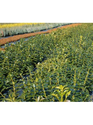 Laurowiśnia wschodnia 'Rotundifolia' 7,5L