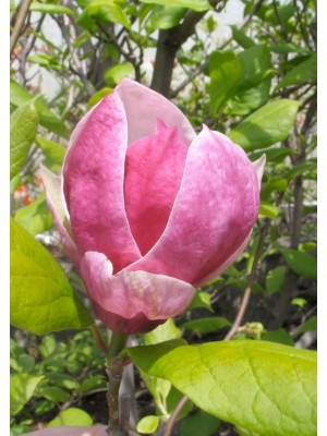 Magnolia pośrednia  Picture  5L