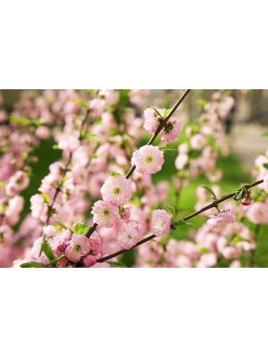 Migdałek trójklapowy - wysokoszczepiony - Prunus triloba - 15L