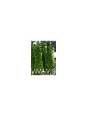 Żywotnik zachodni  Szmaragd  120- 130cm Grunt- Thuja occidentalis  Smaragd