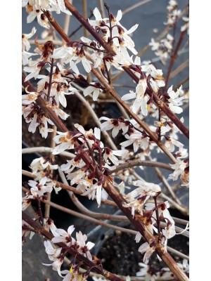 Abeliofylum koreańskie - Abeliophyllum distichum 3L