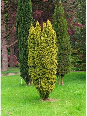 Cis pospolity 'Fastigiata Aurea' - Taxus 2L