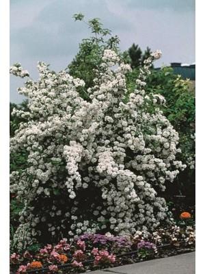 Jaśminowiec 'Bouquet Blanc' 5L