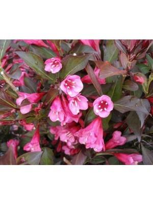 Krzewuszka cudowna Wine & Roses 'Alexandra' 3L