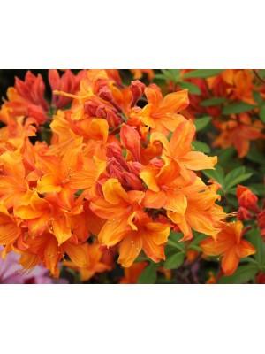 Azalia wielkokwiatowa 'Diorama' 4L