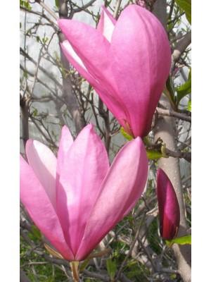 Magnolia   Ann  3L