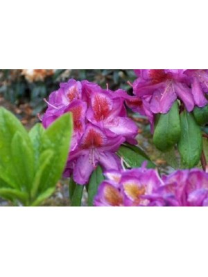 Różanecznik 'Bluebell' - Rhododendron 7,5L
