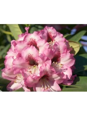 Różanecznik 'Caramba' - Rhododendron 5L