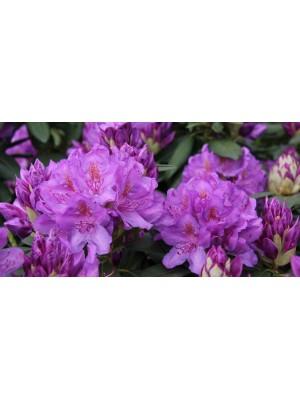 Różanecznik 'Catawbiense Boursault' - Rhododendron 7,5L