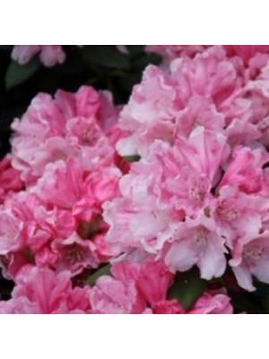 Różanecznik 'Colibri' - Rhododendron 5L