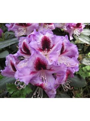Różanecznik 'Alexis' - Rhododendron 7,5L