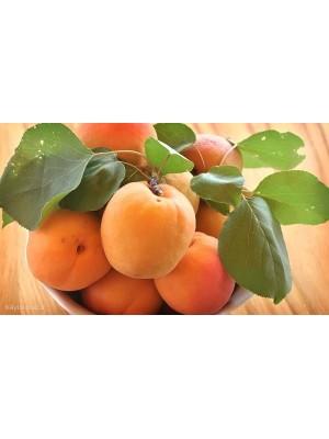 Morela  Early Orange
