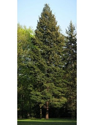 Daglezja zielina 80-120cm